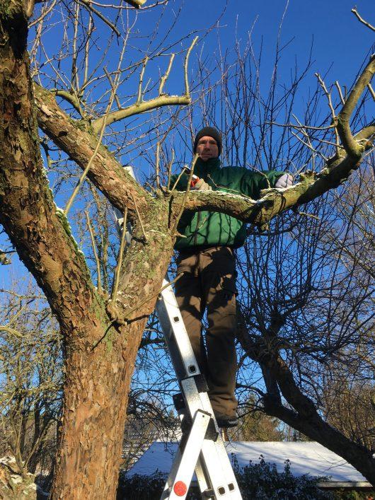 Obstbaumschnitt-beim Schnitt